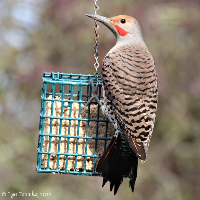 photo: Lyn Topinka, northwestbirding.com