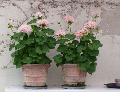 Geraniums in Aged Terracotta Pots Photo: pinterest.com