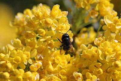 Mason bee harvesting pollen from Oregon Grape (Mahonia aquifolium)