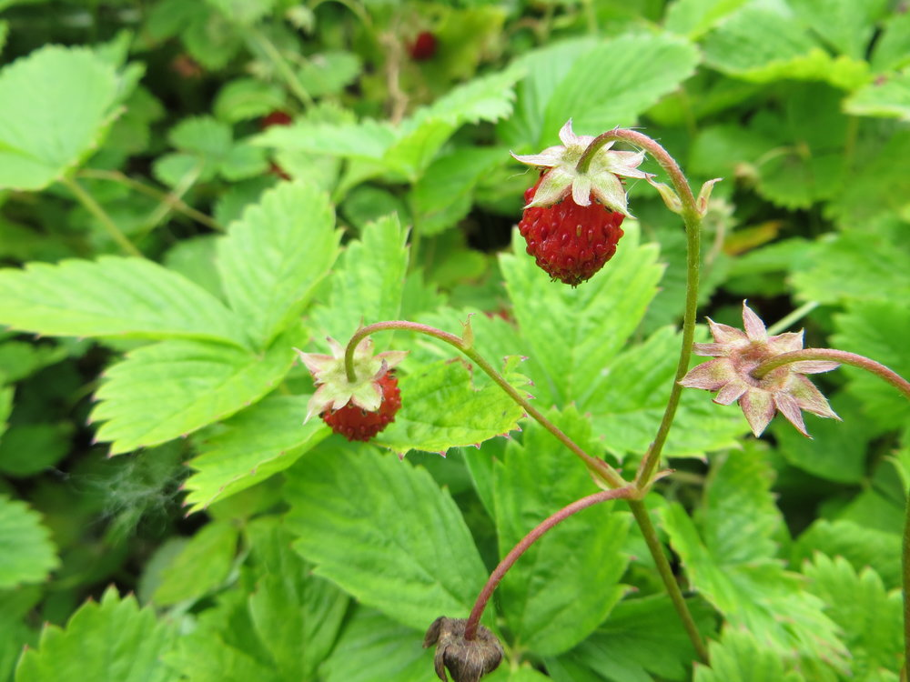 Alpine Strawberry (Fragaria vesca). These plants have lovely foliage, grow well in partial sun, and taste delicious.