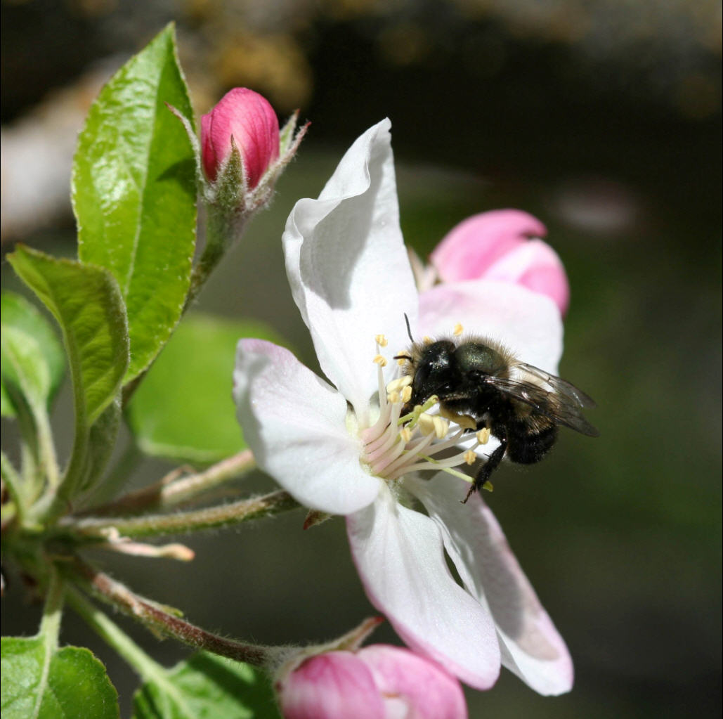 bees in your backyard spring pollination with gentle orchard mason