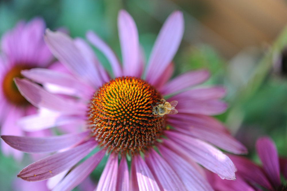 Echinacea photo: Hilary Dahl