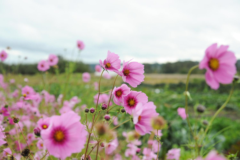 Flowers to enhance your vegetable garden swansons nursery flowers to enhance your vegetable garden izmirmasajfo Gallery
