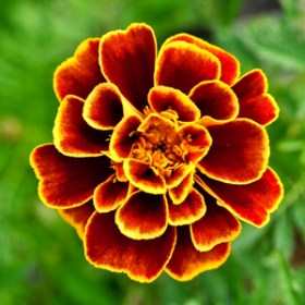 Queen Sophia Marigold photo: Nichols Garden