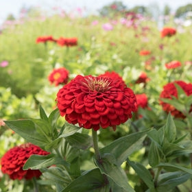 Benary's Giant Series Zinnia photo:Johnny's Seeds