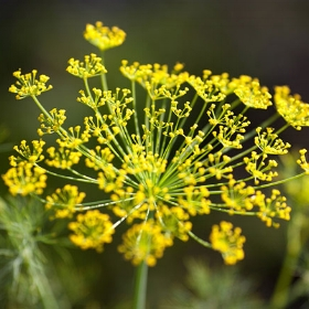 Bronze Fennel photo: David Domoney