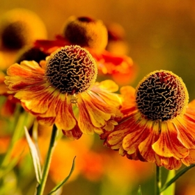 Moerheim Beauty Helenium photo: Pinterest