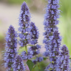 Blue Fortune Hyssop photo: Monrovia