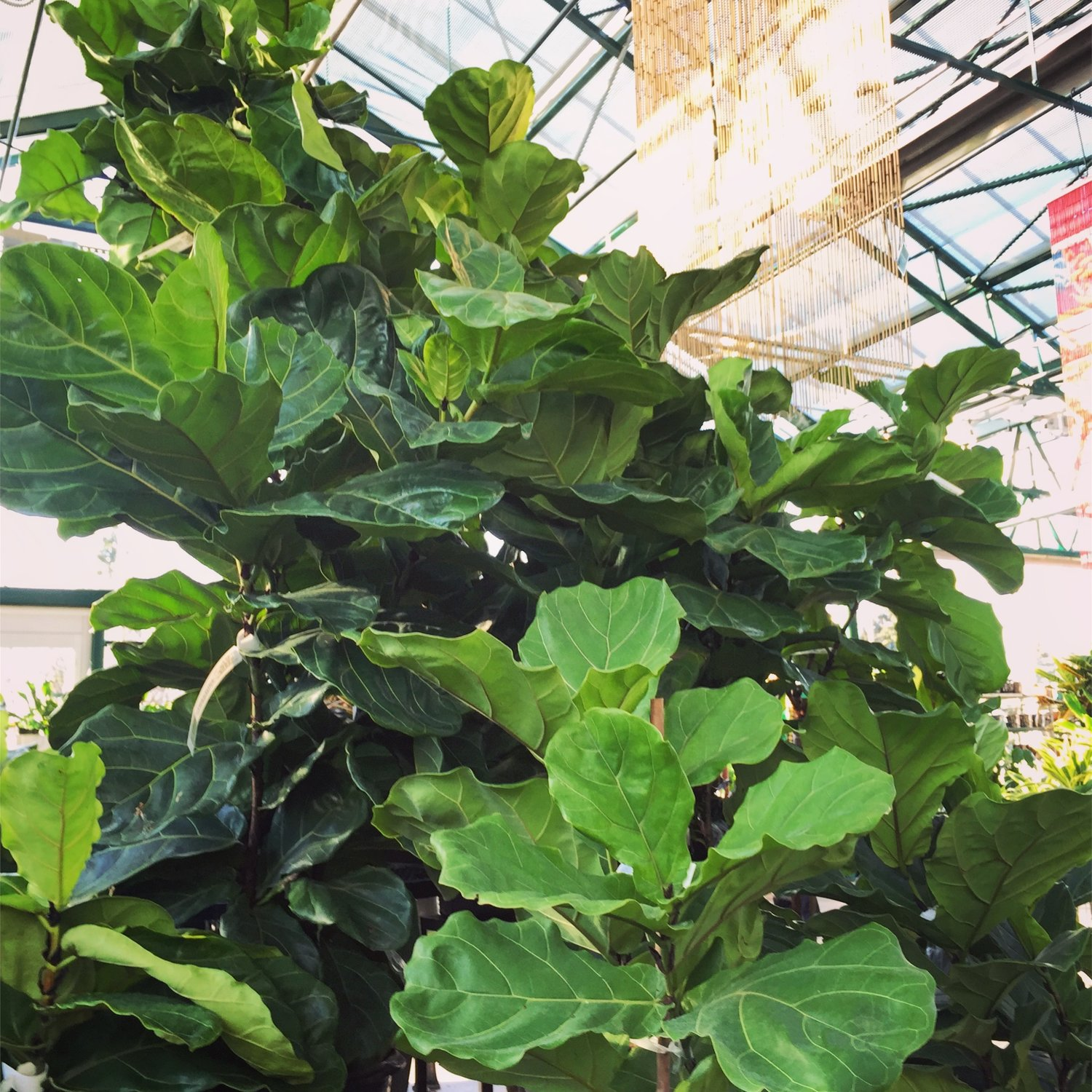 How To Care For Your Fiddle Leaf Fig — Swansons Nursery