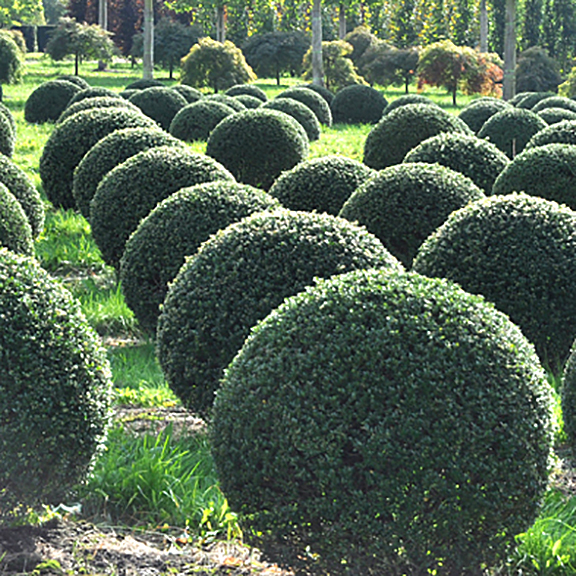Japanese Holly (sheared)
