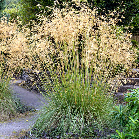 Giant Feather Grass
