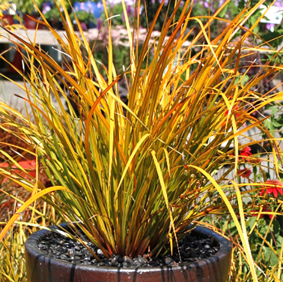 Nz Grasses For Landscaping Planting your mid century modern house swansons nursery new zealand iris workwithnaturefo