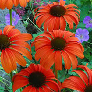 'Tangerine Dream' Coneflower