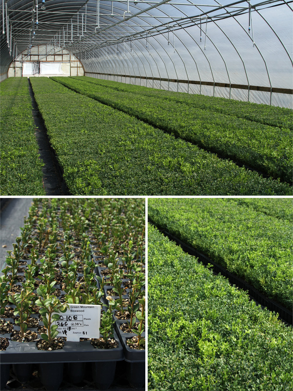 Boxwood as far as the eye can see. Boxwood cuttings (lower left) and young plants (lower right) being cared for in the Bailey greenhouses.