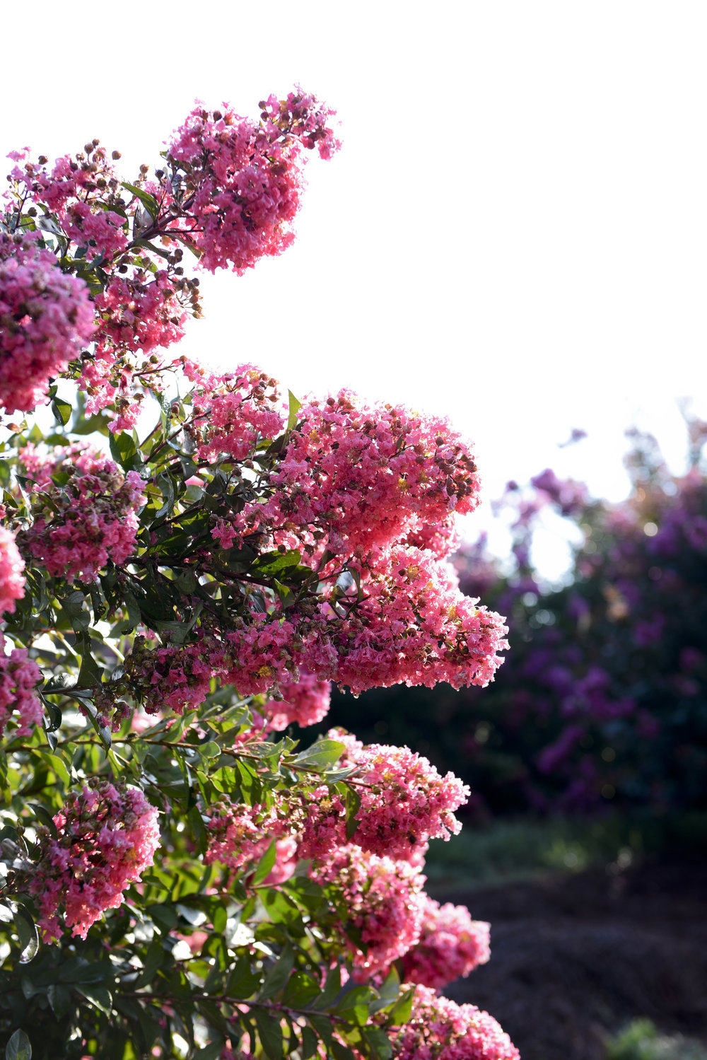Plant of the Week - Lagerstroemia 'Red Magic'