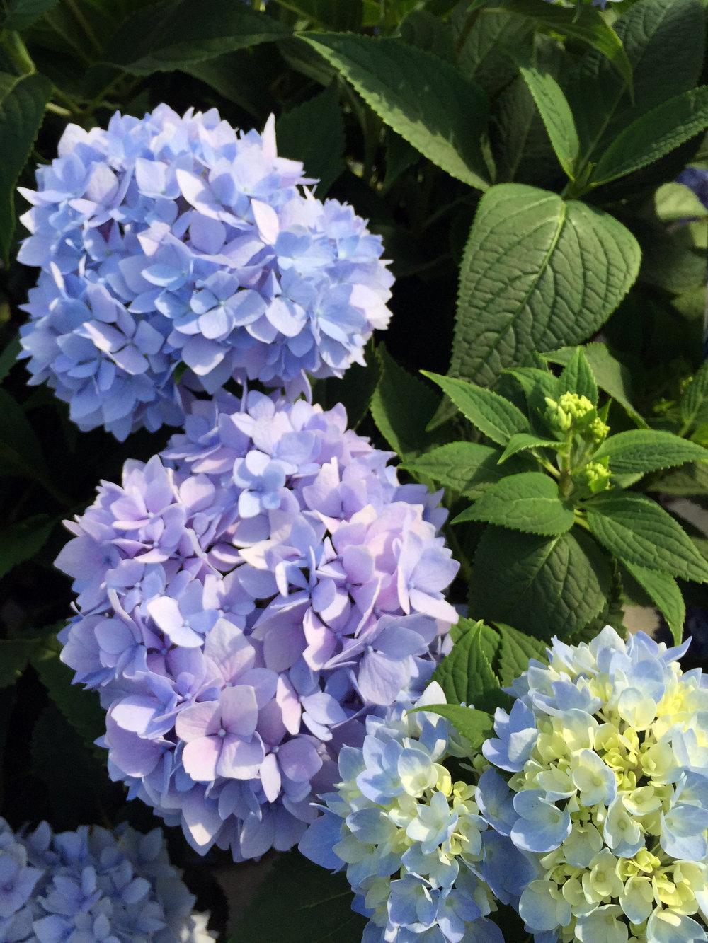Plant of the Week - Endless Summer® Hydrangea
