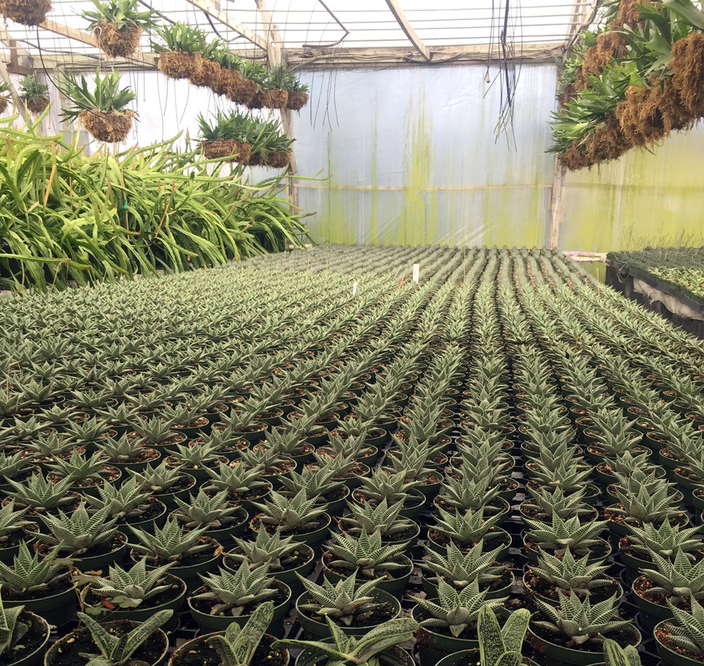 Haworthia 'Miami' as far as the eye can see.