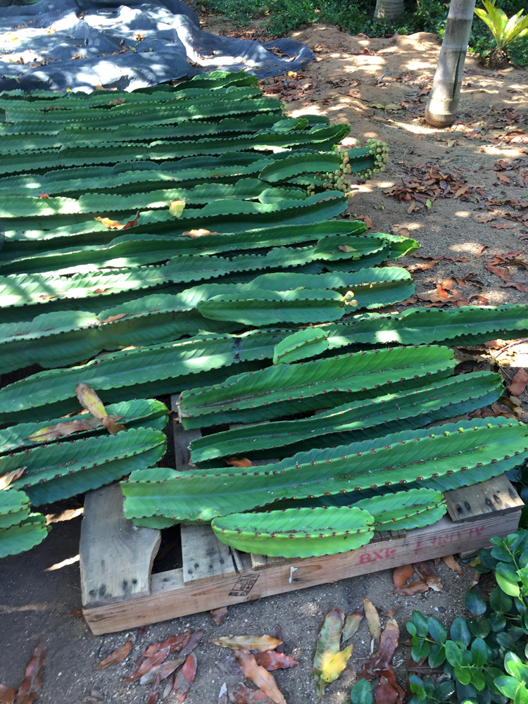 Cuttings of Euphorbia ingens curing on pallets at the Good Earth Nursery.