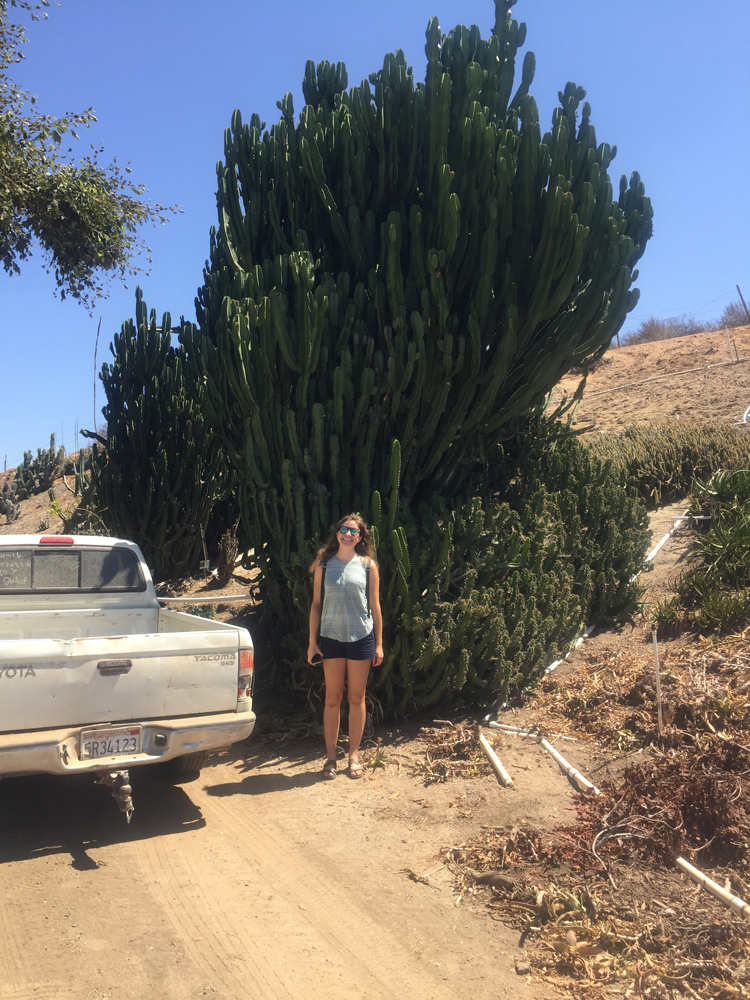 A giant Euphorbia ingens, like the ones Good Earth uses to harvest cuttings.