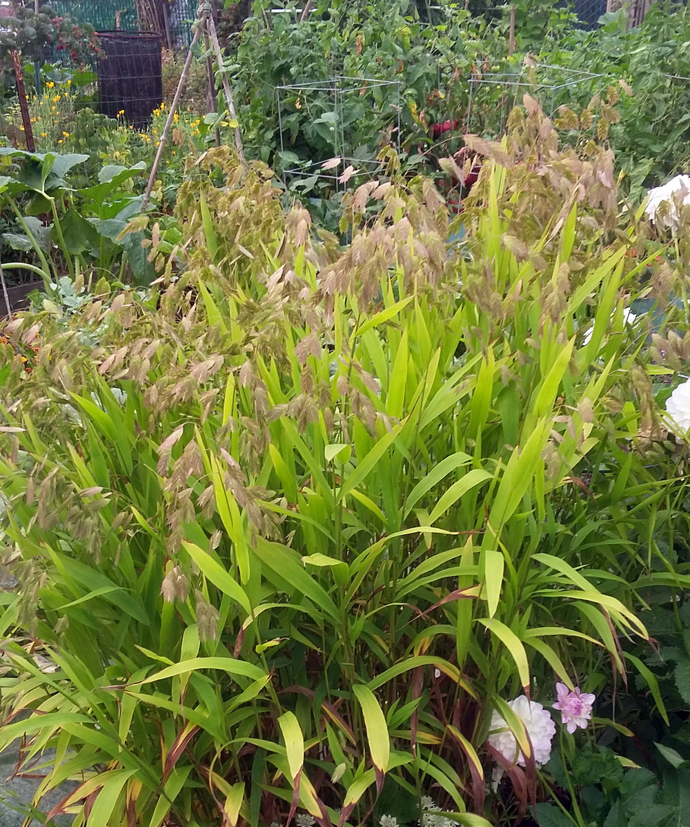 Chasmanthium (Northern Sea Oats)