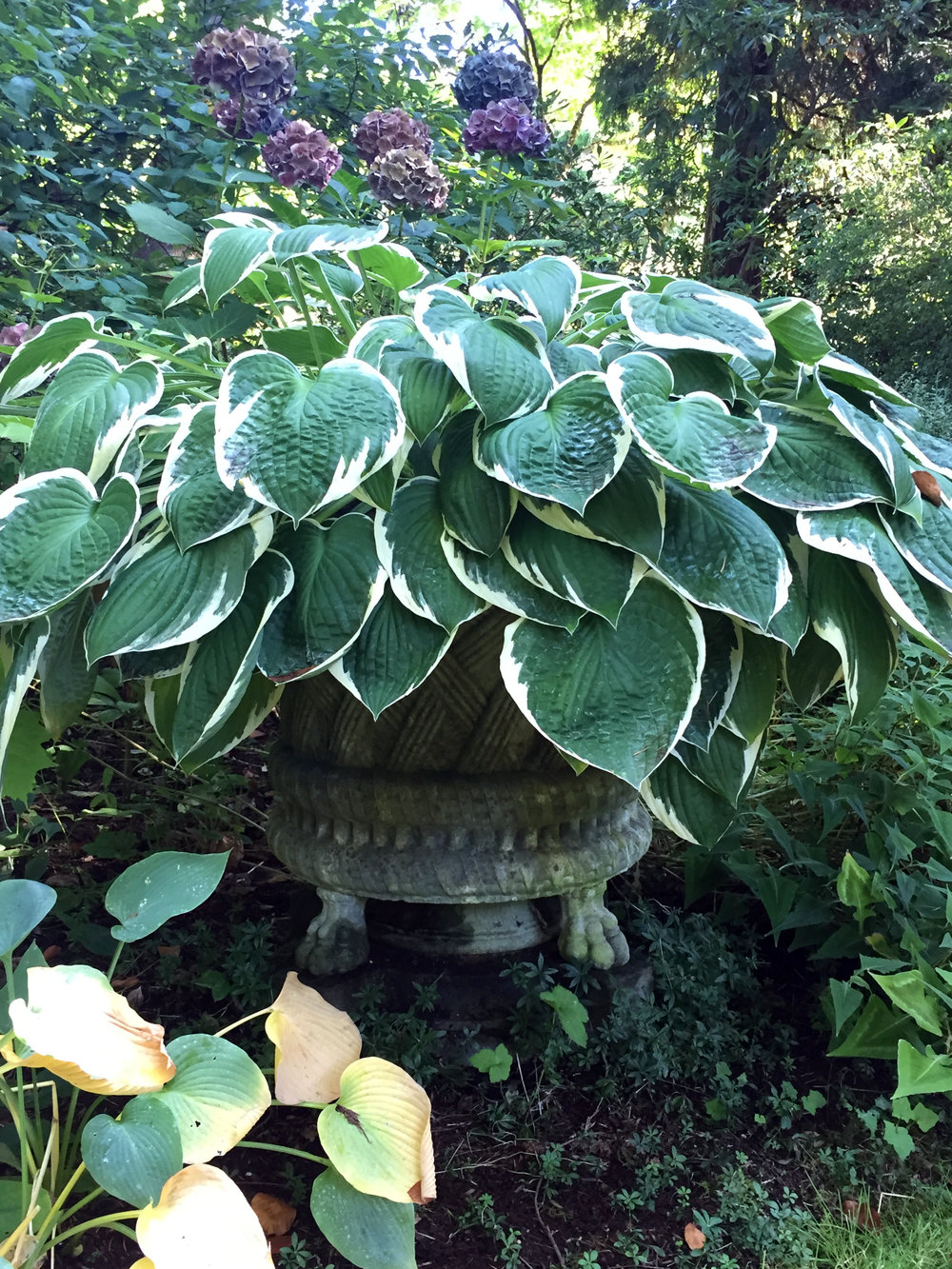 Hosta in a Claw-Foot Urn