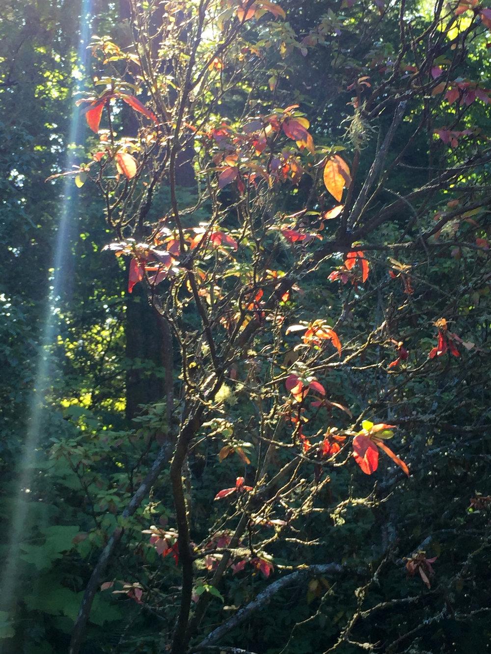 A Rare Quercus Augustinii