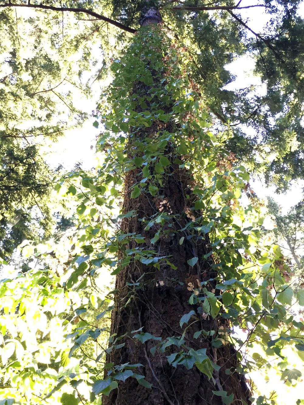 A 50-Year-Old Climbing Hydrangea