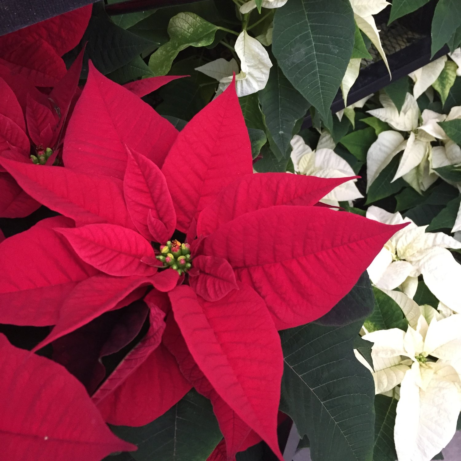 Caring For Your Poinsettia — Swansons Nursery - Seattle\'s Favorite ...