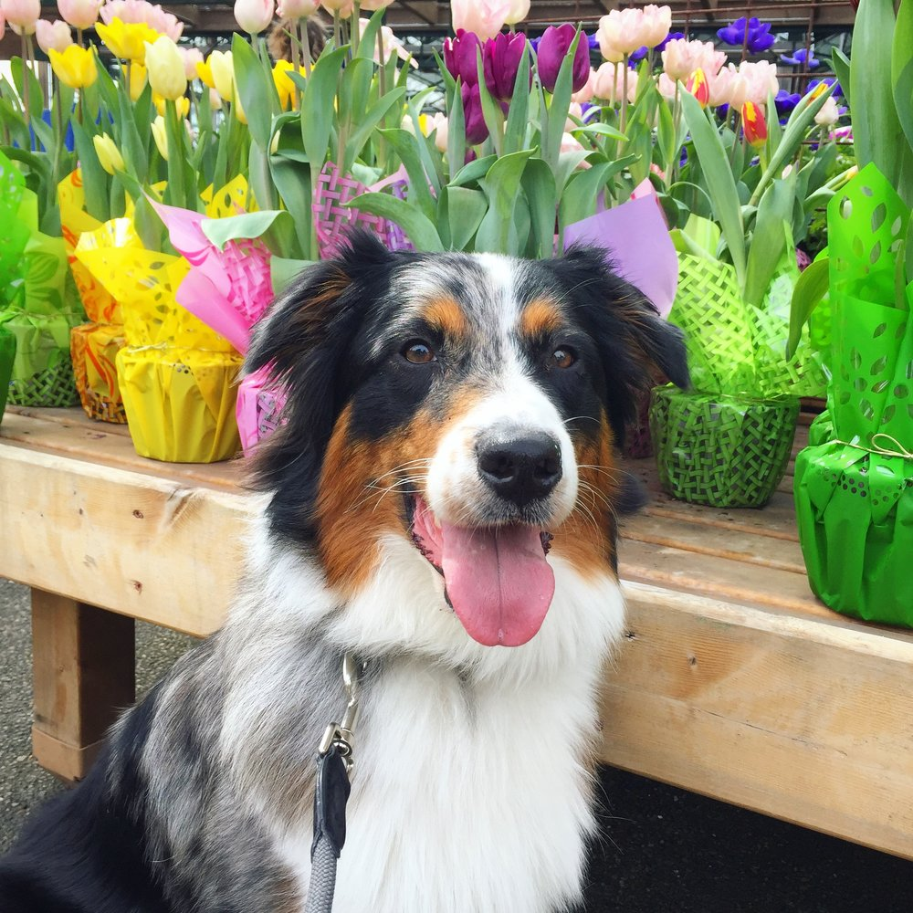 Frankie posing with spring bulbs