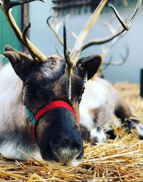 Santa's reindeer resting before the big flight*