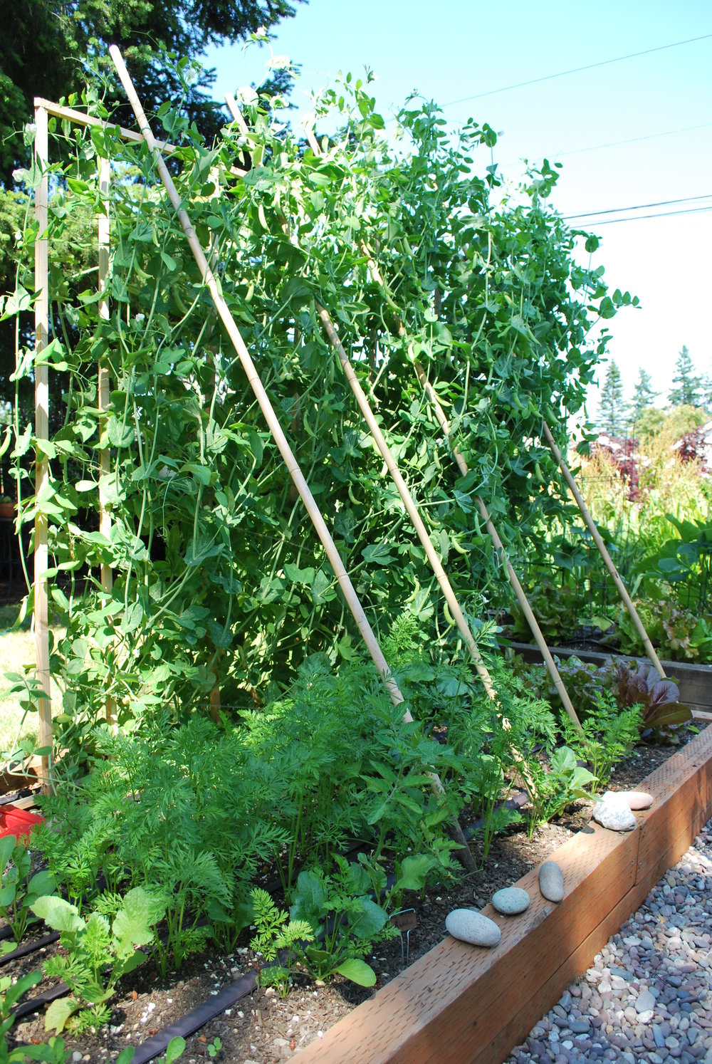 Peas on a trellis with carrots and radishes below. They were such strong growers, they nearly pulled the trellis down!