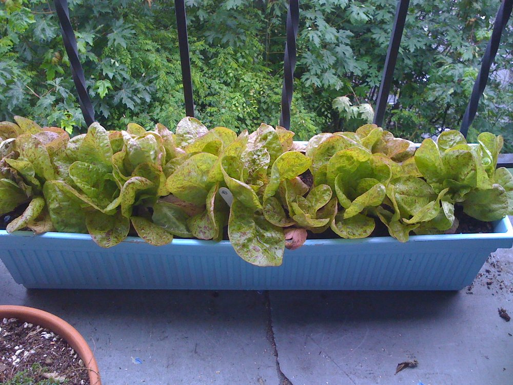 Forellenschluss lettuce in a long container
