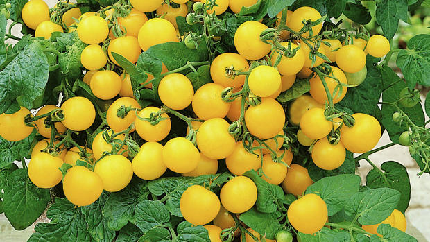Patio Choice Yellow Cherry Tomato