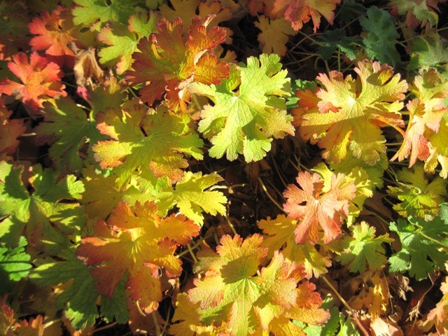 Fall color on G. macrorrhizum