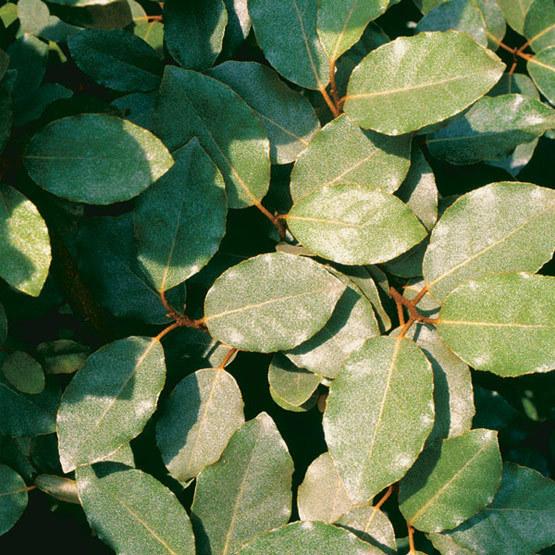 Eleagnus pungens (photo: Fine Gardening)