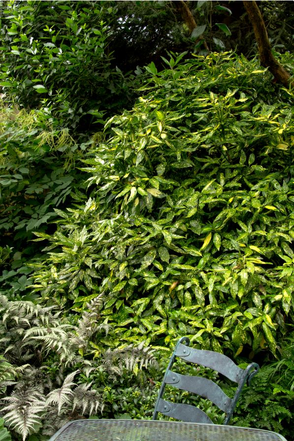 Aucuba japonica 'Gold Dust' (photo: Monrovia)