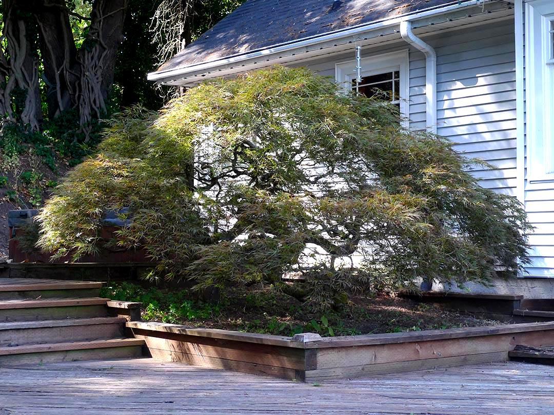 Pruning Japanese Maples Swansons Nursery Seattle S Favorite