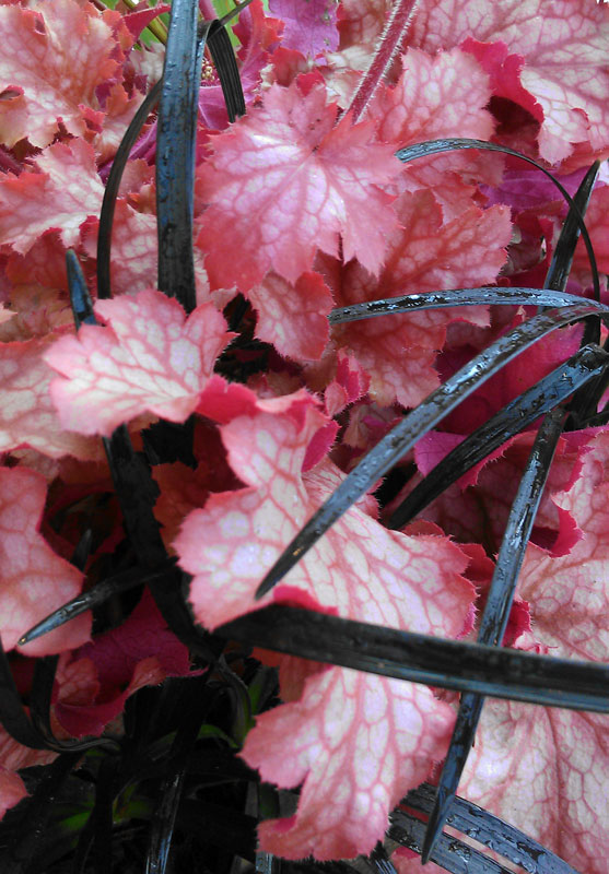 Heuchera & Black Mondo Grass