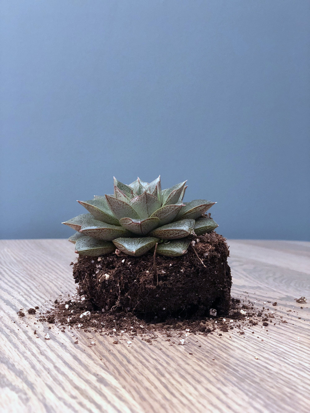 Echeveria - Echeveria purpusorumFull sun to bright light (more sun if they begin to stretch)Let the soil dry out completely between waterings. Try to avoid getting water on the center of the rosetteFertilize sparingly in the growing seasons