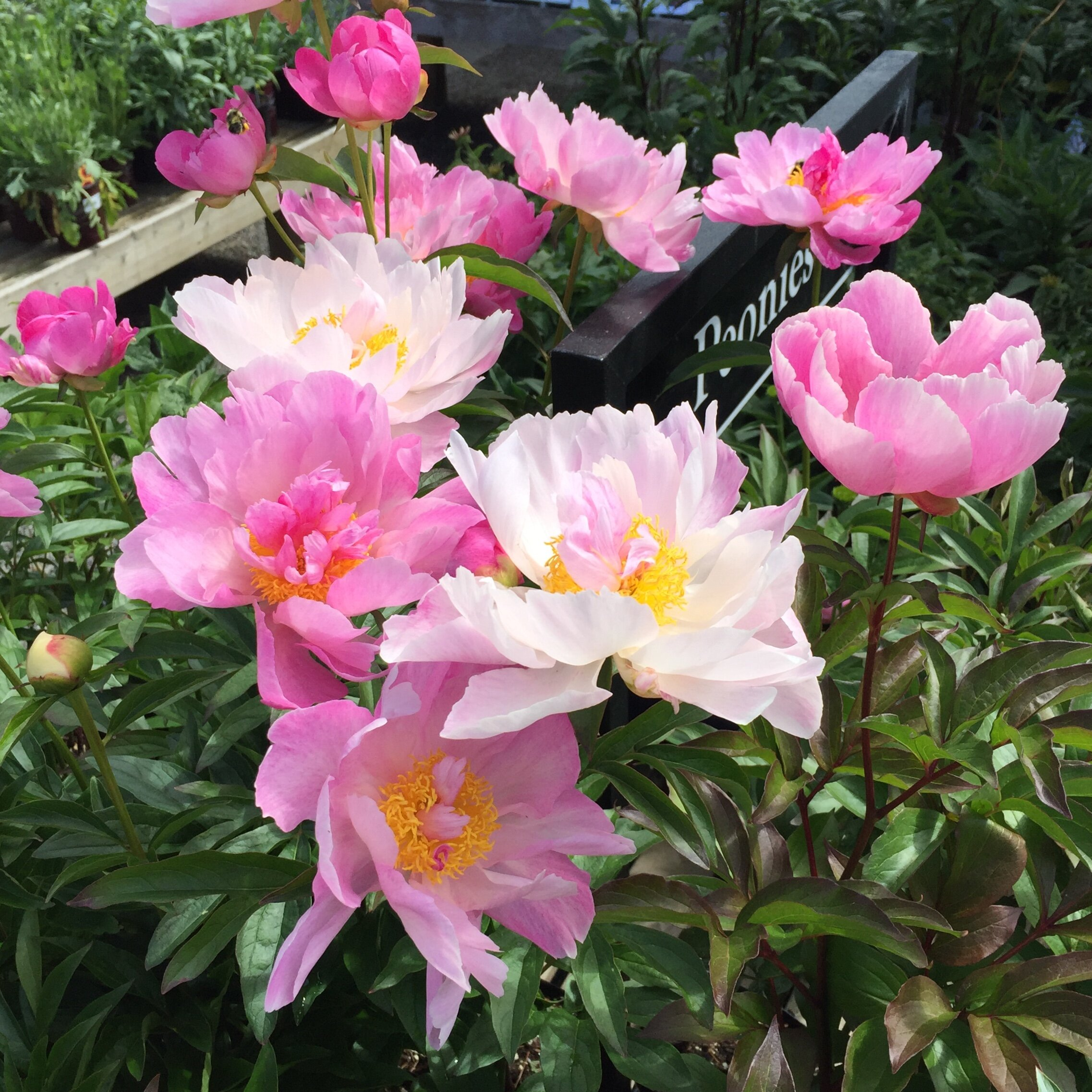 Peony Planting Care In The Northwest Swansons Nursery