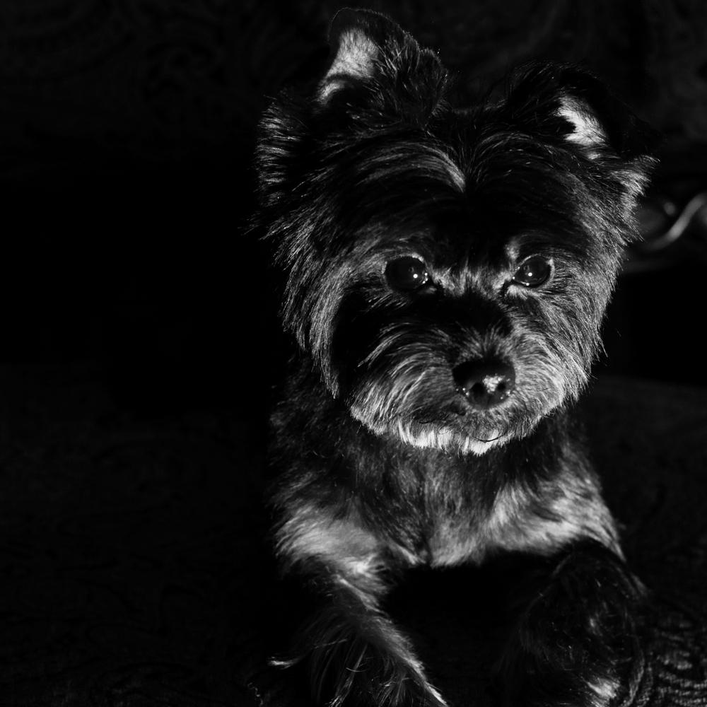 Neiman Marcus Yorkshire Terrier.jpg