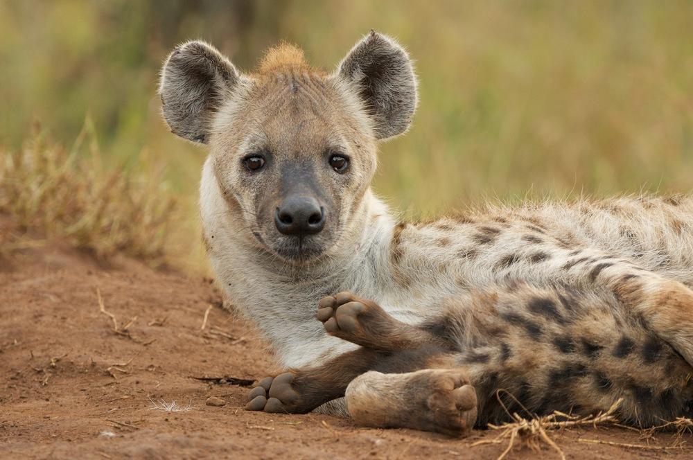 Hyena feeding her pup.