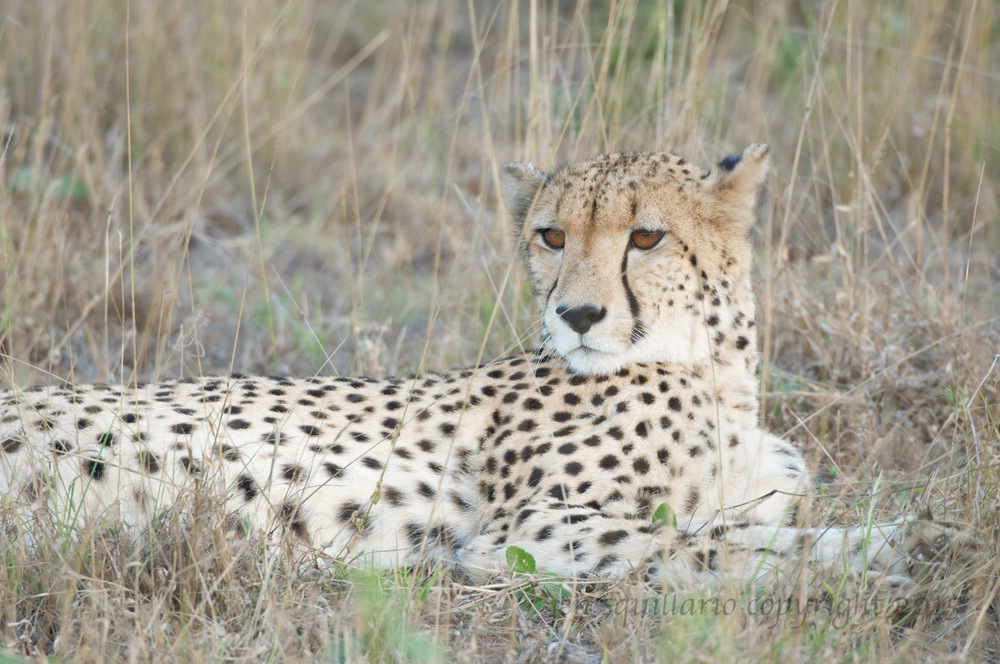 Our first cheetah sighting, a female, was close to the lodge.  She was lying in the tall grass as the sun set.