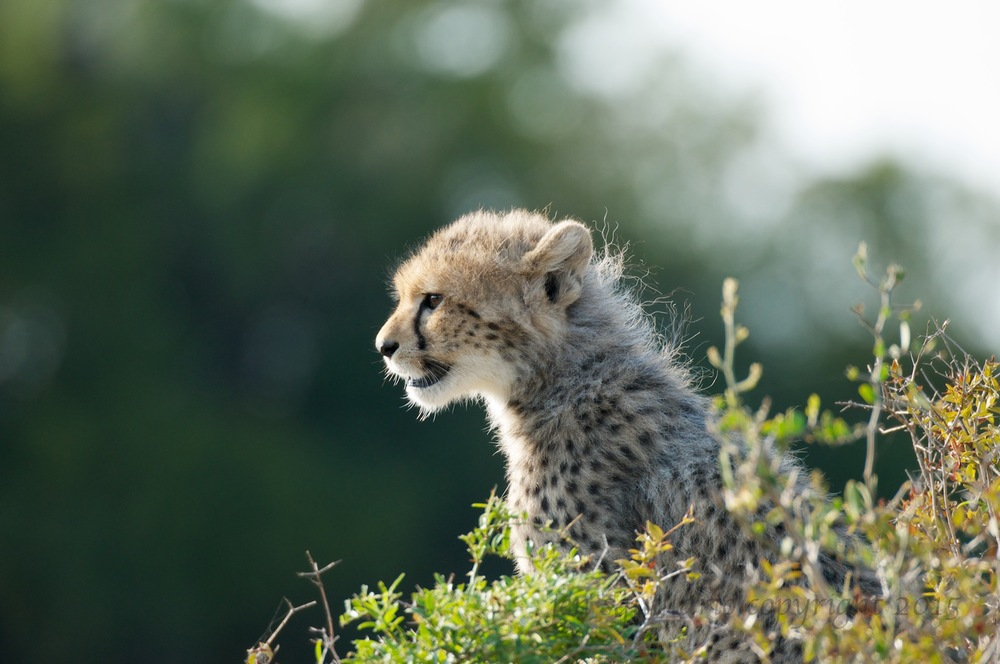 Young Cub on the Lookout