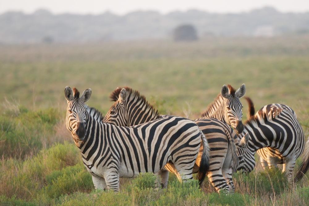 Sun Setting on Zebra