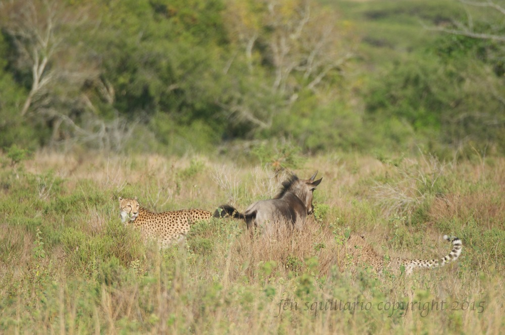 Young cheetah chasing wildebeest with mom looking on.