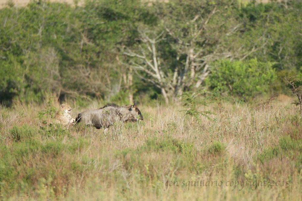 Cheetah cub makes contact.
