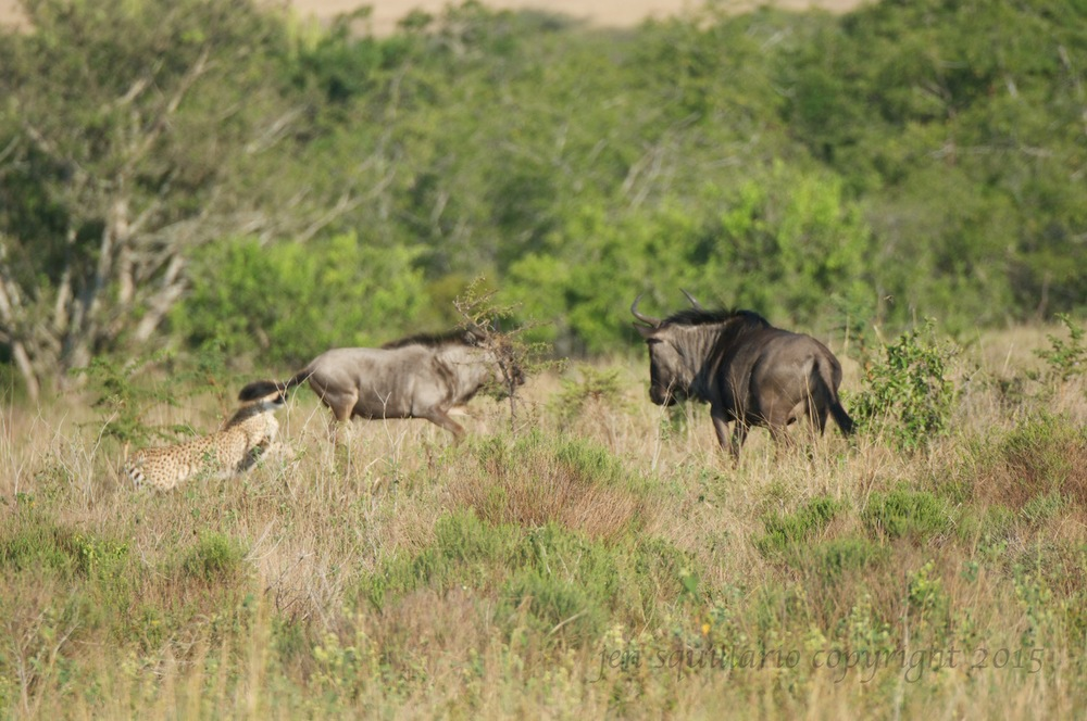 The wildebeest's mom comes back for its young.