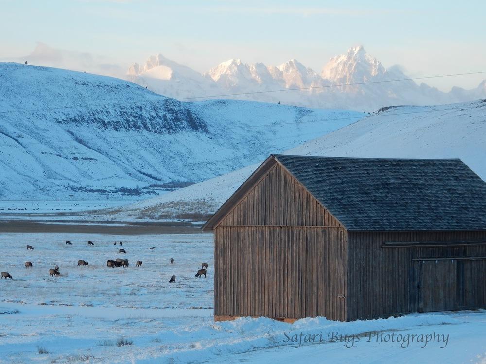 National Elk Refuge-2015-16