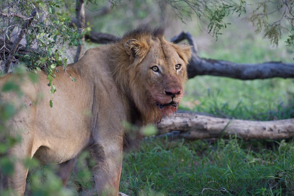 Male Lion Over Kill